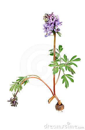 Free Flower Corydalis Halleri With Root Bulb. Royalty Free Stock Image - 24411896