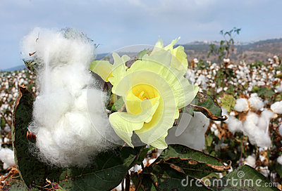 Flower of cotton