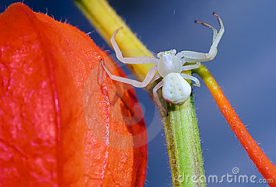 Flower (crab) spider on red Physalis