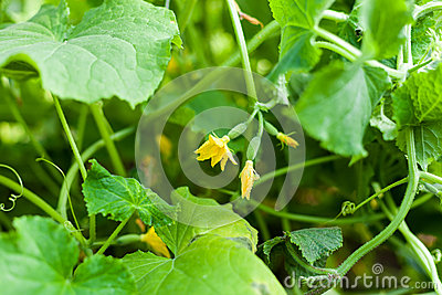 Flower of cucumber growing on beds in the garden