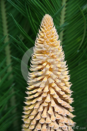 Flower of cycas