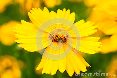 Flower daisy yellow