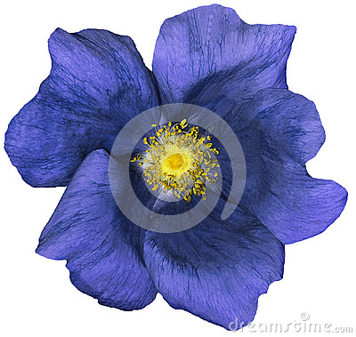 Free Flower Dark Blue On A White Isolated Background With Clipping Path. Nature. Closeup No Shadows. Garden Royalty Free Stock Photos - 95058088