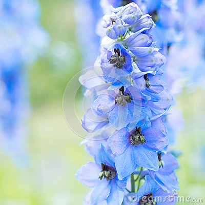 Free Flower Delphinium Royalty Free Stock Images - 48297459