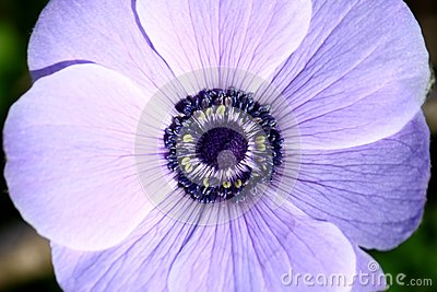 Flower Details (Purple Anemone)