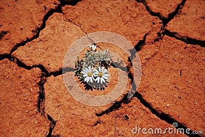 Flower in drought