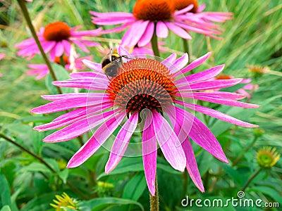 flower, Echinacea