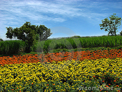 Flower Farms