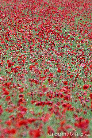 Flower field 1