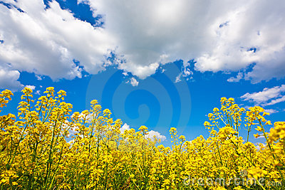Flower field and sky