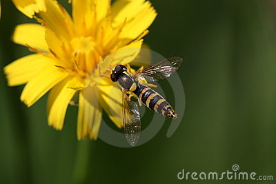 Flower-fly on yellow flower