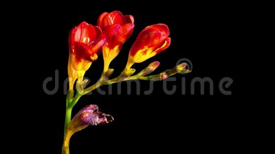 Flower Freesia bloom and fade, time-lapse with alpha channel. Flower Freesia bloom and fade, time lapse with alpha channel stock video footage