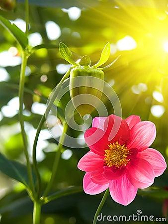 Flower  garden  pink  petals