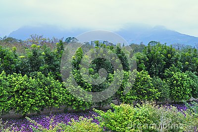 Flower garden with trees and mountainous backgroun