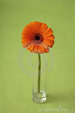 Free Flower Gerber In A Glass Royalty Free Stock Image - 3128896