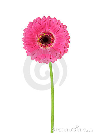 Flower Gerbera Royalty Free Stock Photos - Image: 18341188