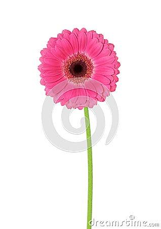 Free Flower Gerbera Royalty Free Stock Photos - 18341188