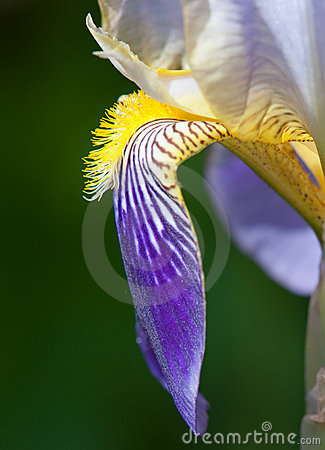 Flower of German Iris, Detail