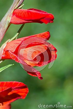 Flower a gladiolus