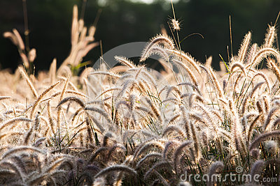 Flower of the grass