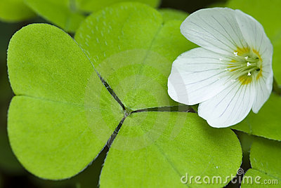 Flower and leaf of sorrel, cuckoo-flower