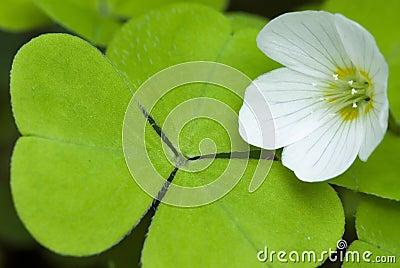Flower and leaf of sorrel, cuckoo-flower