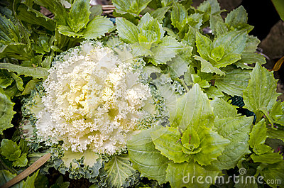 Ornamental kale cabbage