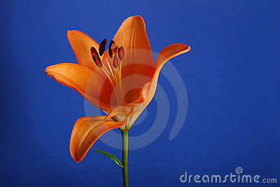 Flower -lily
