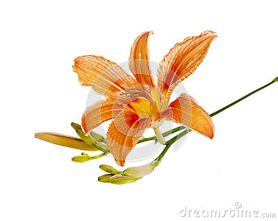 Flower of a Lily