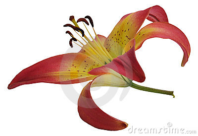 The flower of a lily, isolated