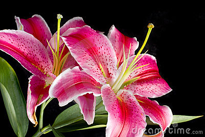 Flower Lily ( Lilium  sort