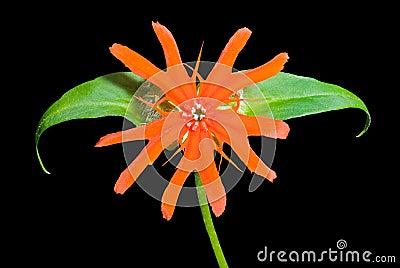 Flower (Lychnis cognata) 13