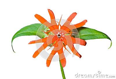 Flower (Lychnis cognata) 16