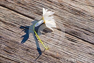 Flower lying diagonally on weathered wood