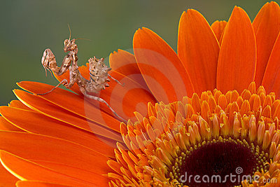 Flower mantis on petal