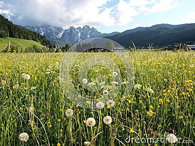 Flower meadow by Alps