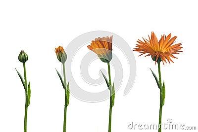 Flower medicinal
