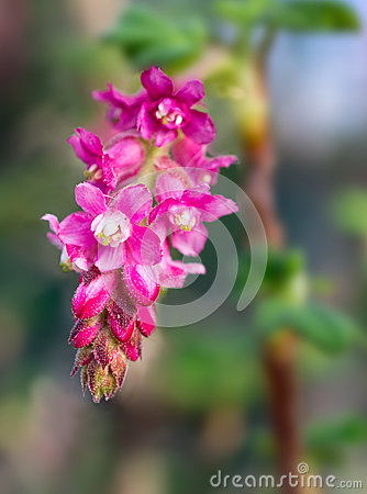 Free Flower Of Chaparral Currant, Ribes Malvaceum Stock Image - 66637781