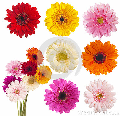Free Flower Of Gerber Daisy Collection Royalty Free Stock Photos - 30374828