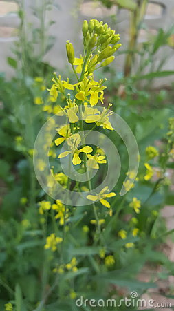 Free Flower Of Mustard Greens Stock Photography - 67007252