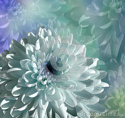 Free Flower On  Blue-turquoise Background. White-blue  Flower Chrysanthemum.  Floral Collage.  Flower Composition Stock Image - 87562141