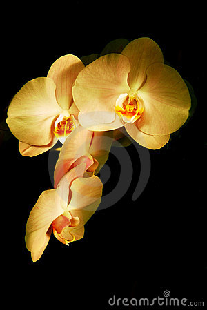 Free Flower Orchid Royalty Free Stock Photo - 15060835