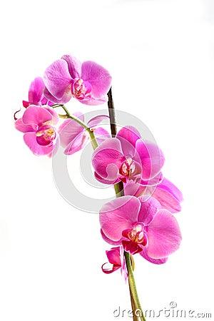 Flower orchid -  phalaenopsis
