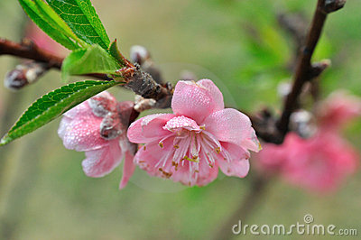 Flower on peach tree in spring