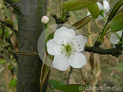 Flower of pear openning in Spring