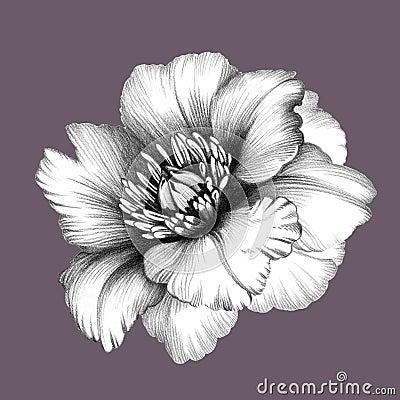 Flower Pencil Drawing Stock Illustration Image 60806940