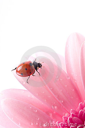 Free Flower Petal With Lady Bug Stock Images - 10779194