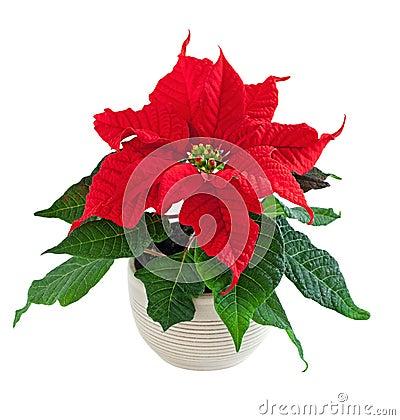 Free Flower Poinsettia Stock Image - 27766631