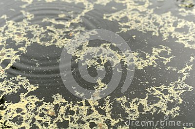 Pollen in Rain Puddle