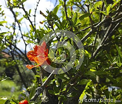 Flower of pomegrade
